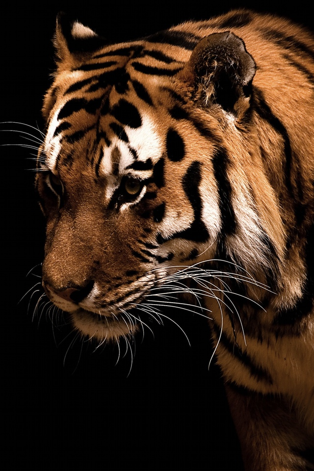 A Tiger in the Dark 3W.jpg  A Tiger in the Dark