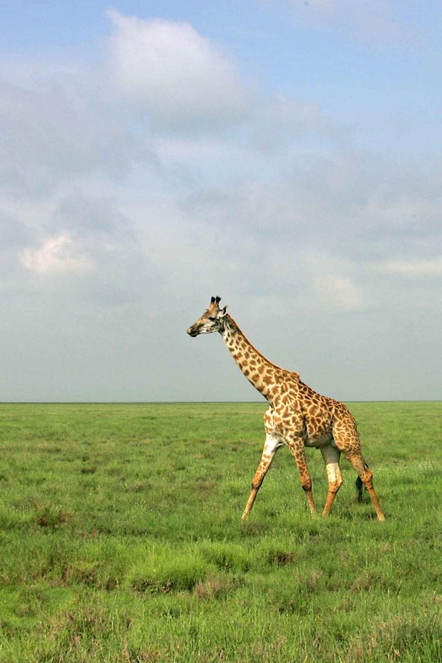 3wallpapers_Fonds d'ecran Girafe