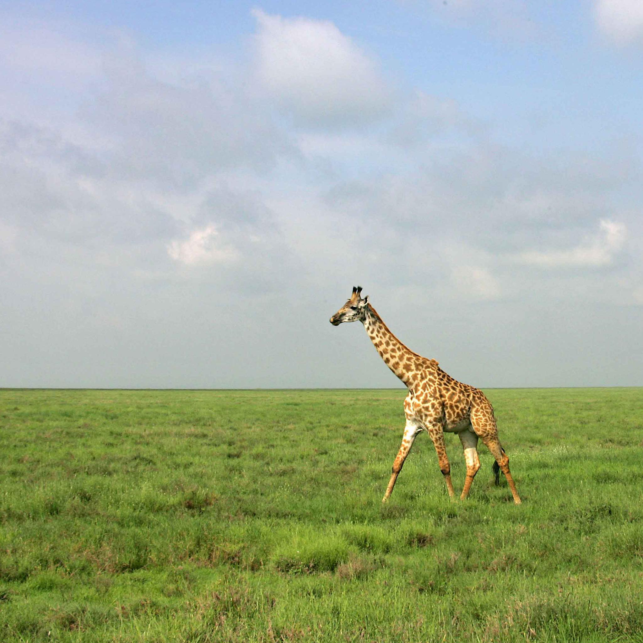 Girafe 3W iPad Girafe   iPad