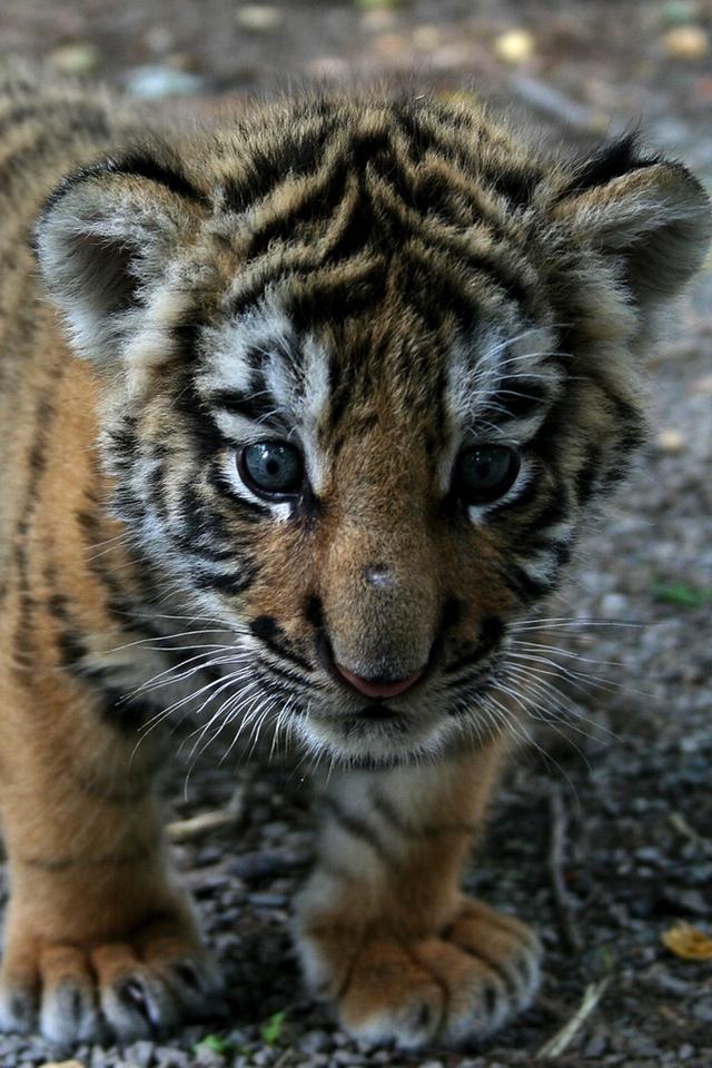 Le Petit Tigre 3W.jpg  Le Petit Tigre