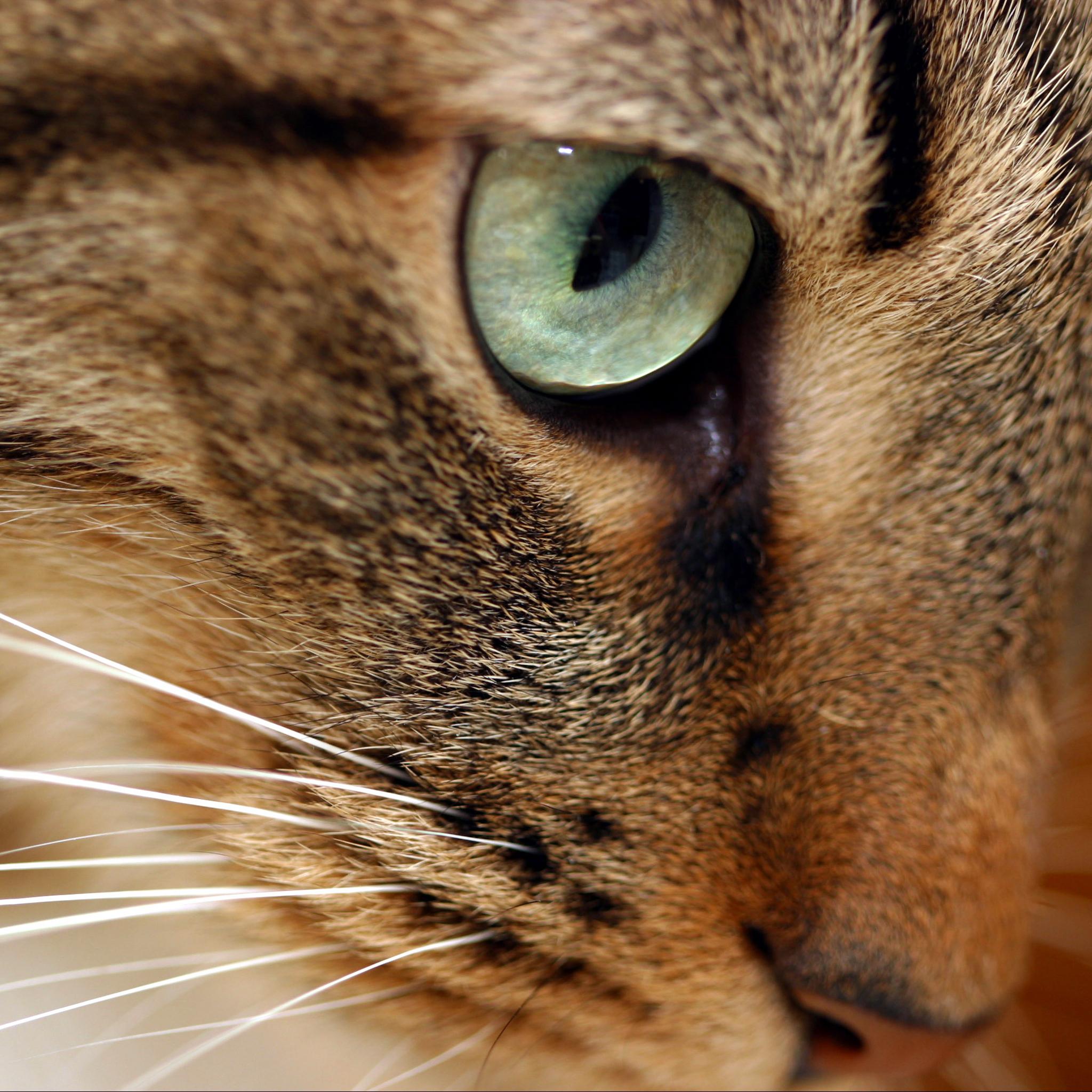 Eyes Cat 3Wallpapers iPad Eyes Cat   iPad