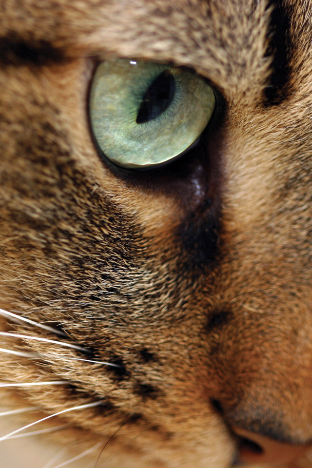 Eyes Cat 3Wallpapers Eyes Cat