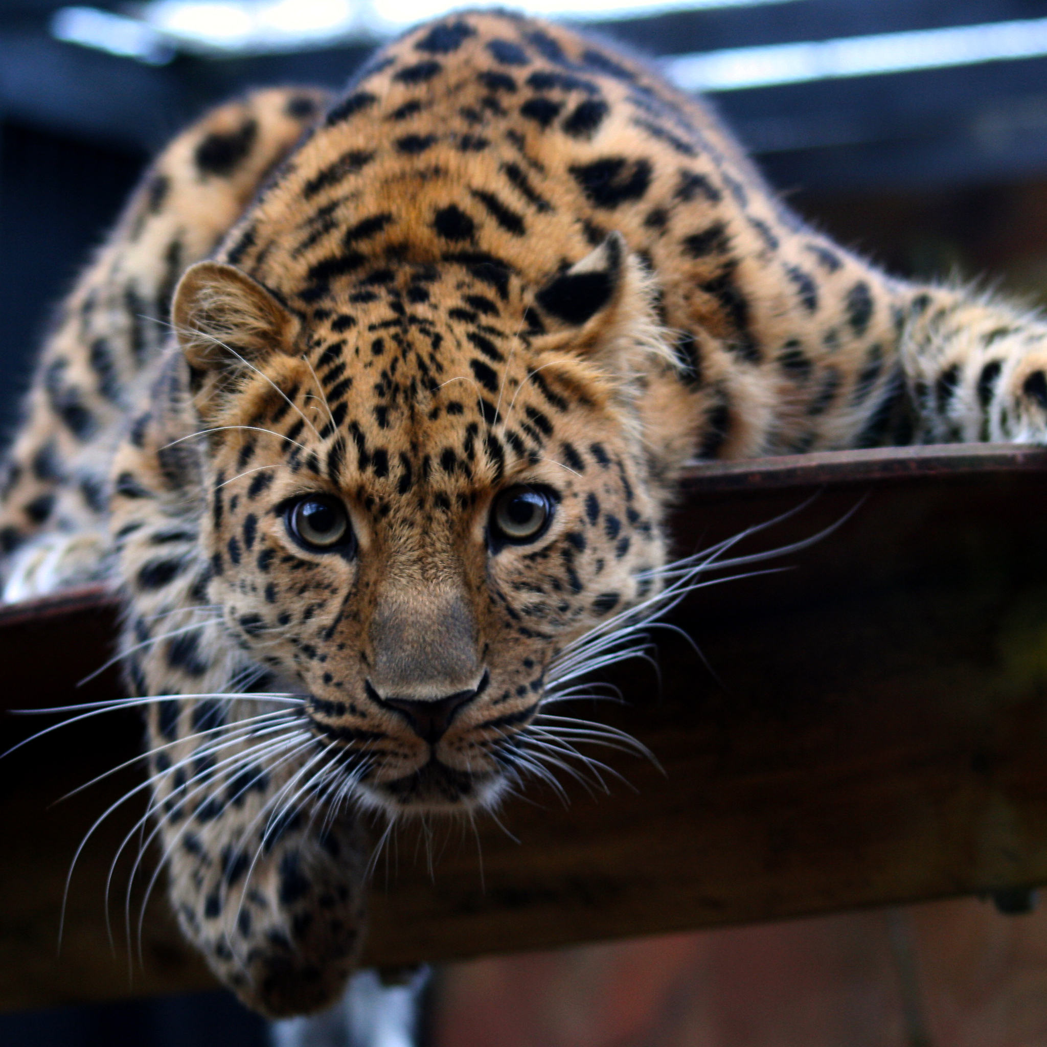 Leopard-in-the-Eyes-3Wallpapers-iPad