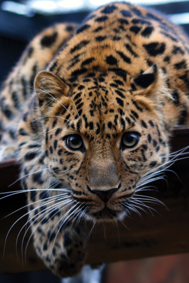 Leopard-in-the-Eyes-3Wallpapers