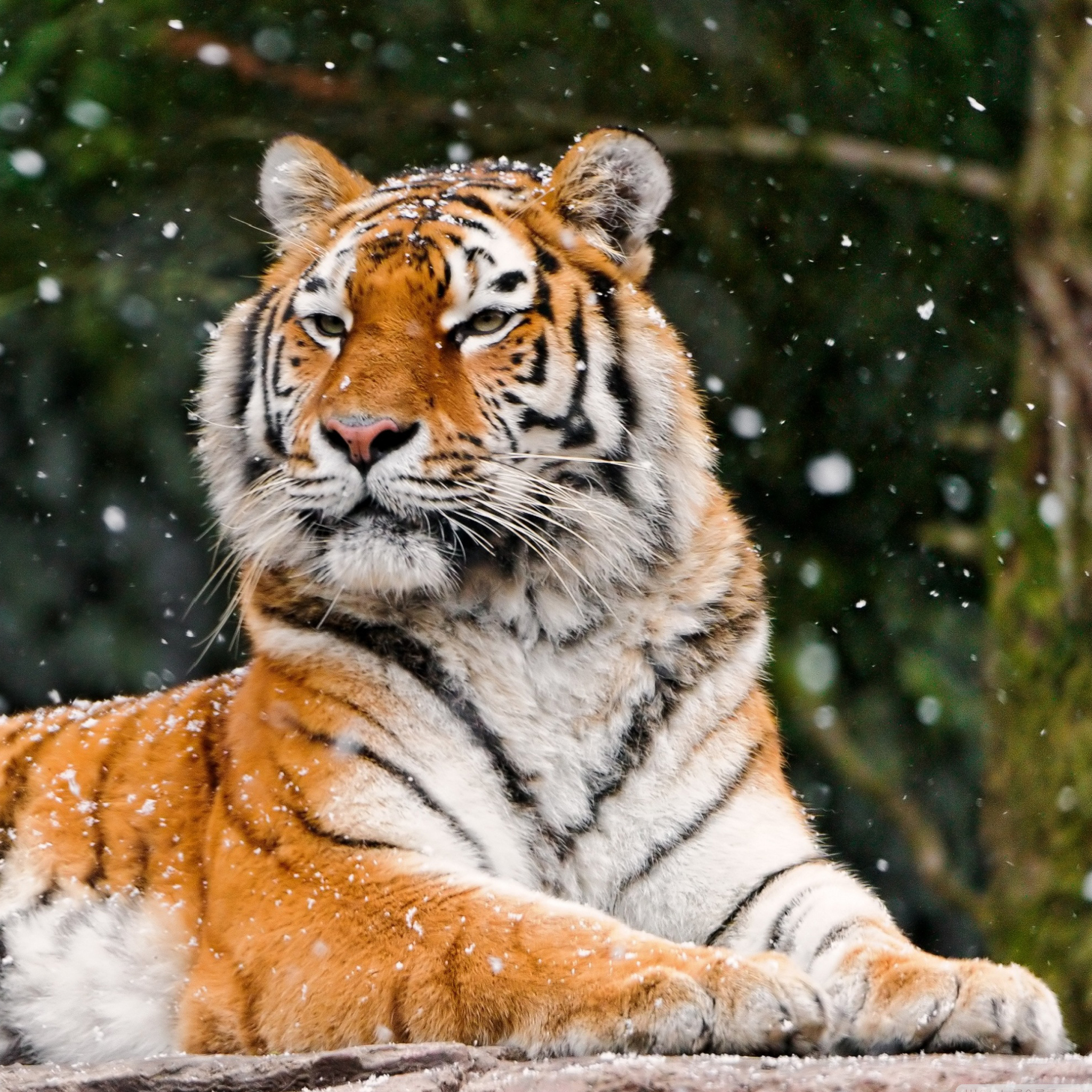 Tiger in the Snow 3Wallpapers iPad Tiger in the Snow   iPad
