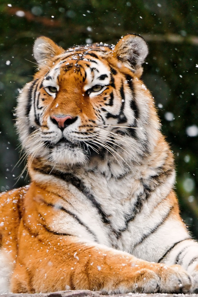Tiger In The Snow Wallpaper For Iphone X 8 7 6 Free