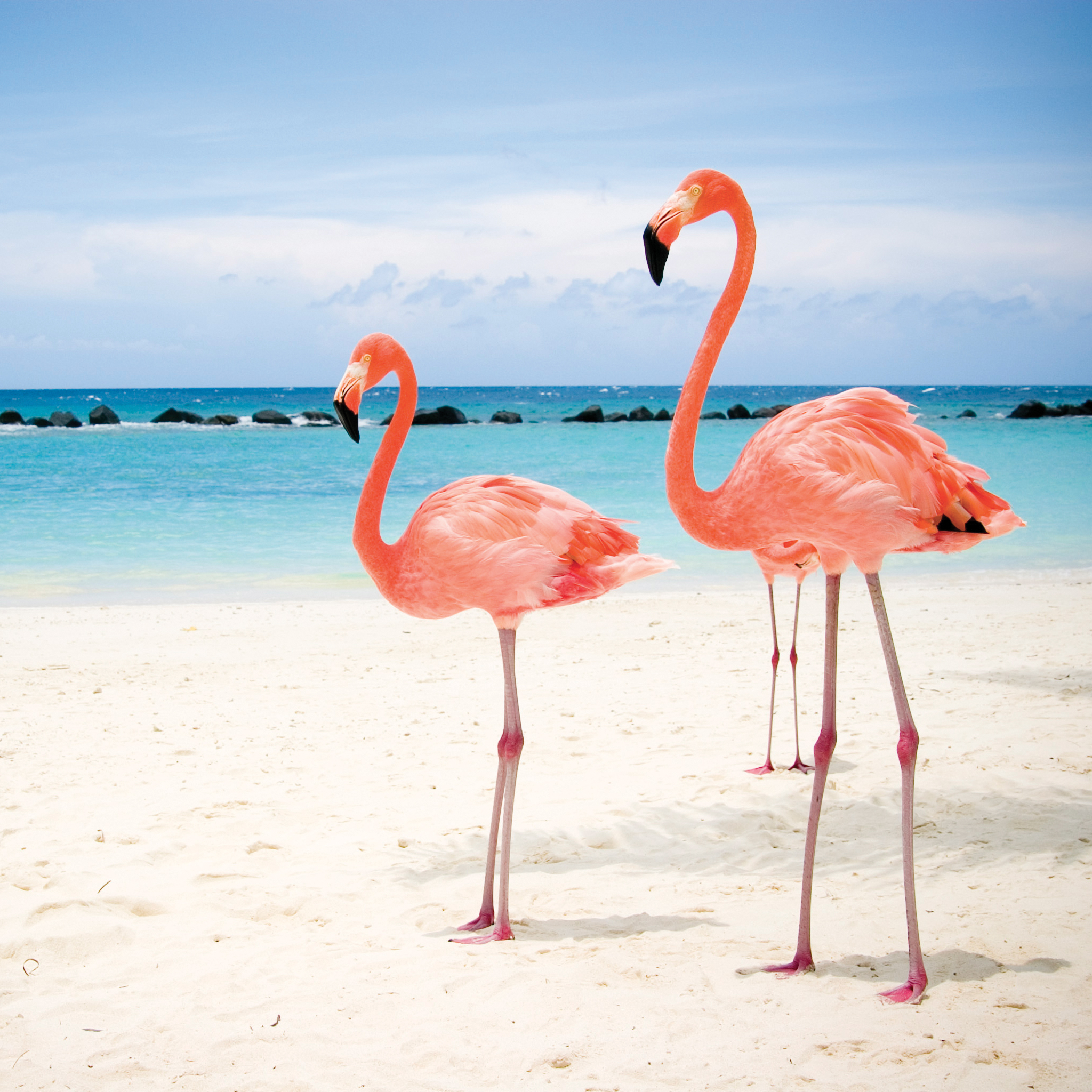 Flamant-Rose-3Wallpapers-iPad-Retina