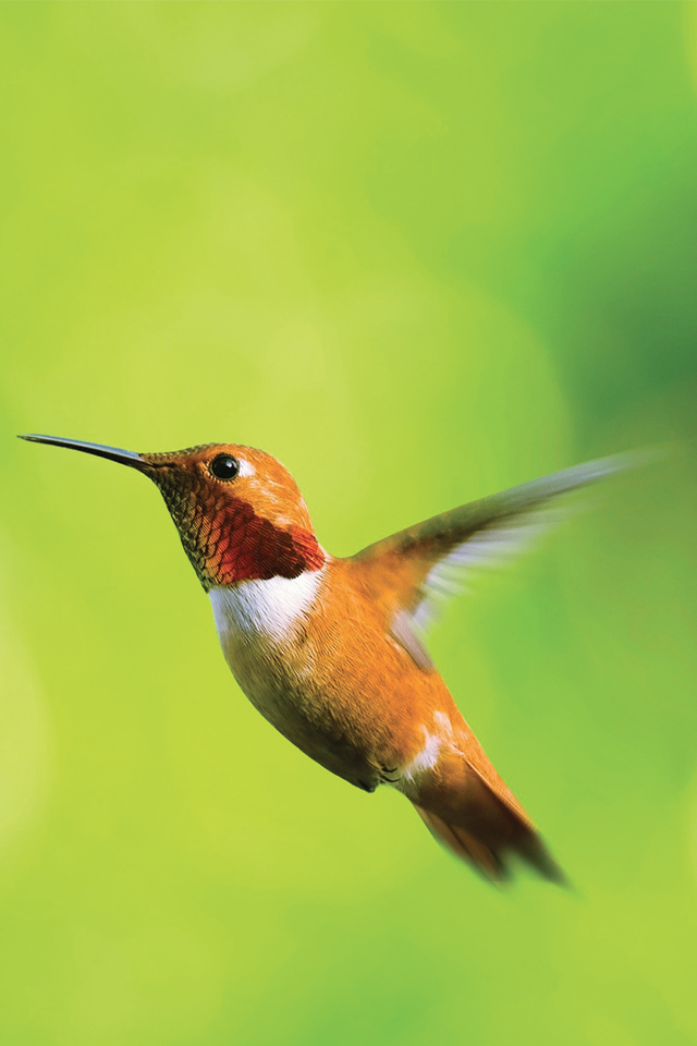 Hummingbird-3Wallpapers