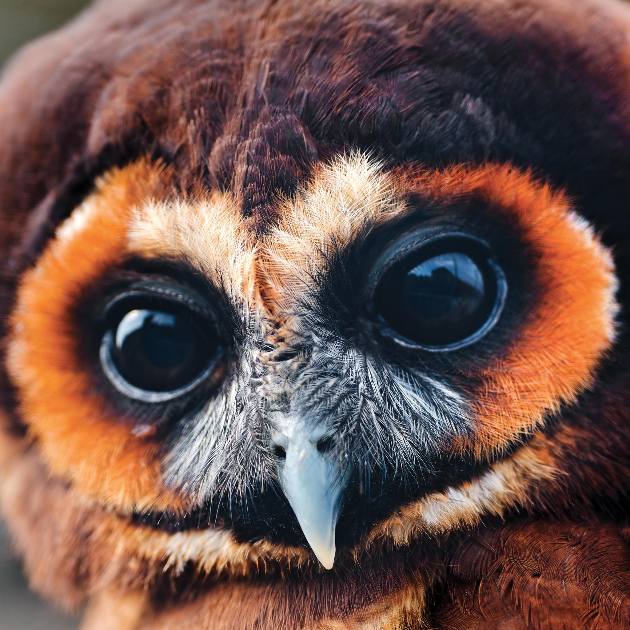 Owl Brown 3Wallpapers iPad Retina Owl Brown   iPad Retina