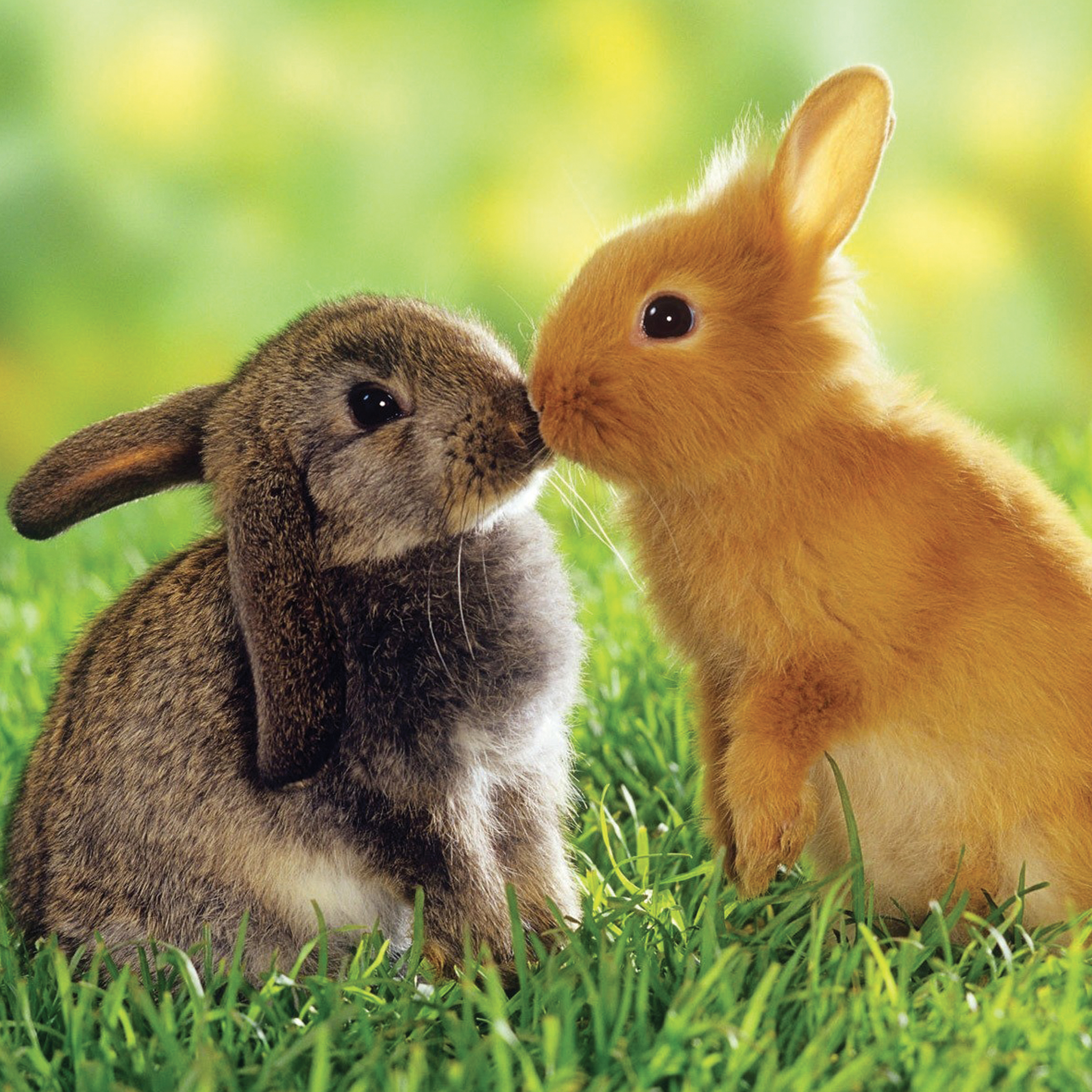 Rabbit-in-Love-3Wallpapers-iPad-Retina