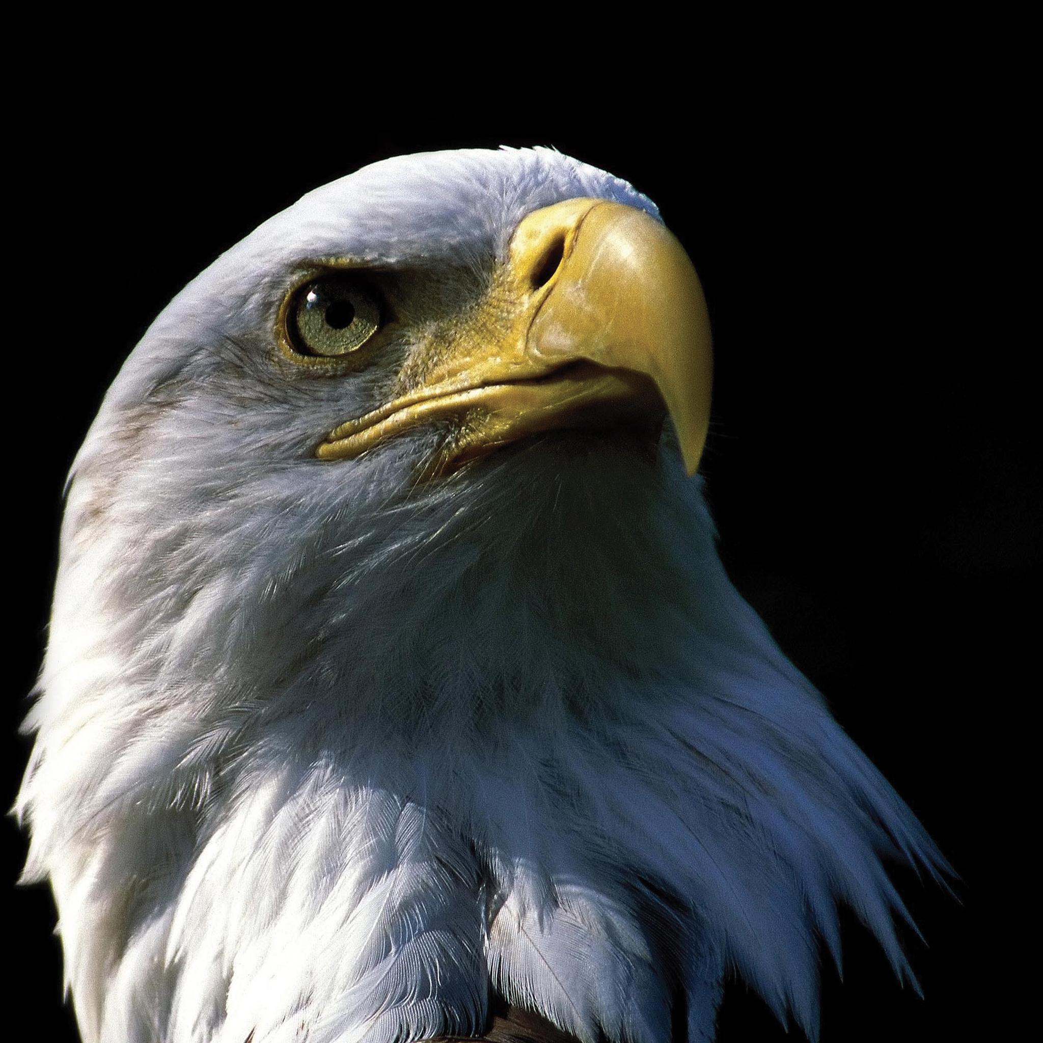 Eagle-3Wallpapers-iPad-Retina