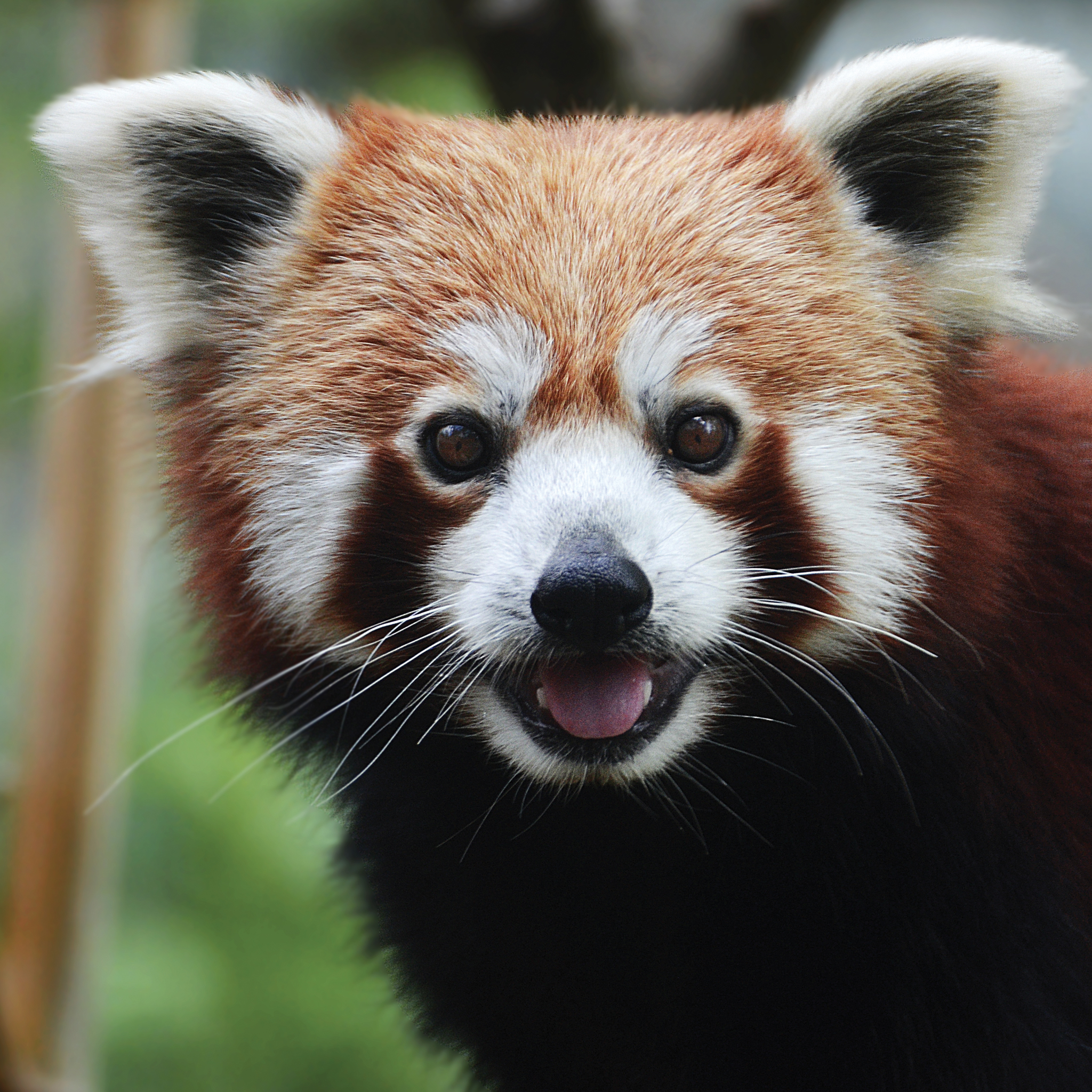Red-Panda-3Wallpapers-iPad-Retina