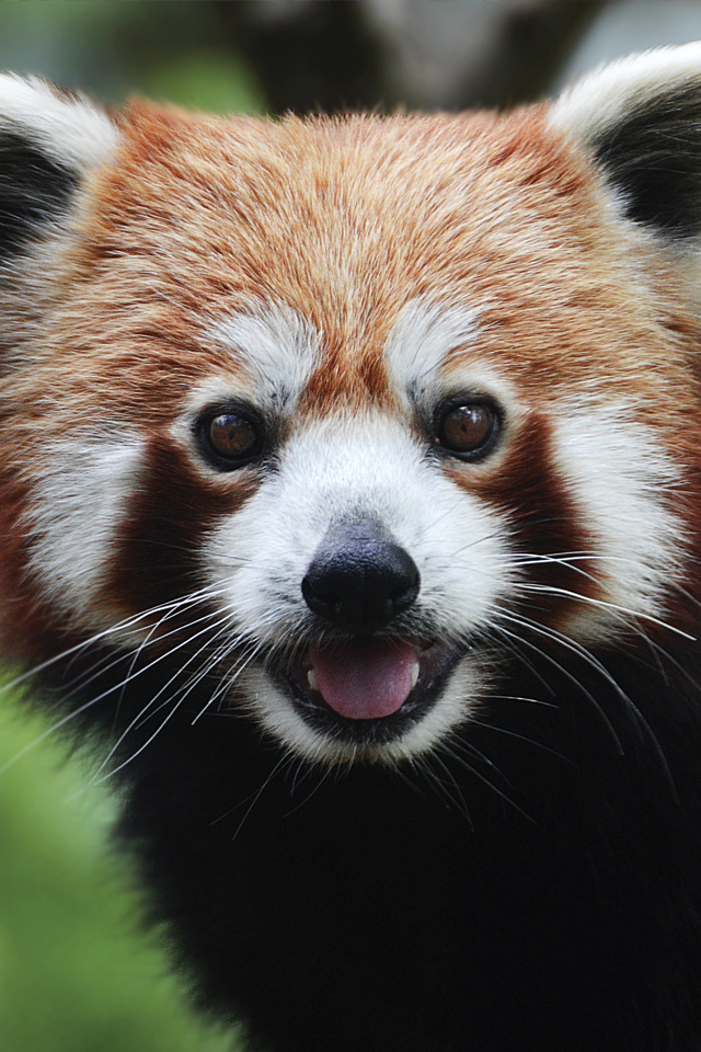 Red Panda 3Wallpapers Red Panda