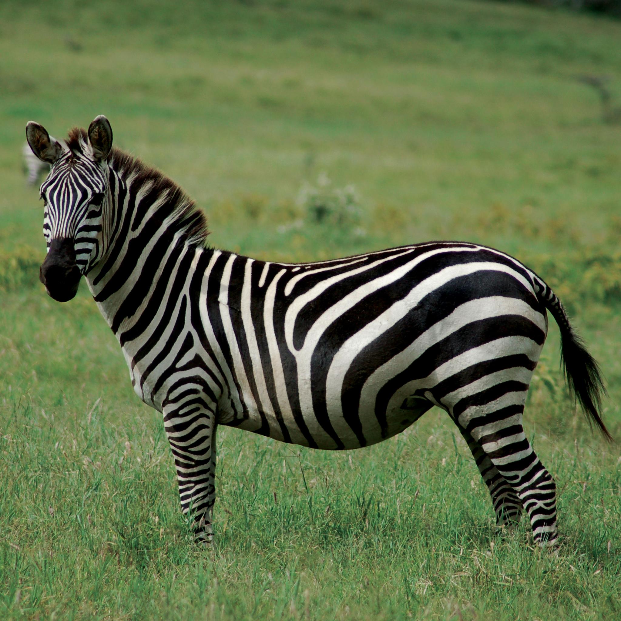 Zebra 3Wallpapers ipad Retina Zebra   iPad Retina