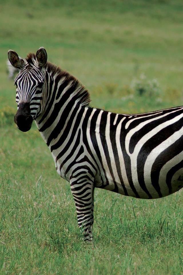 Zebra-3Wallpapers