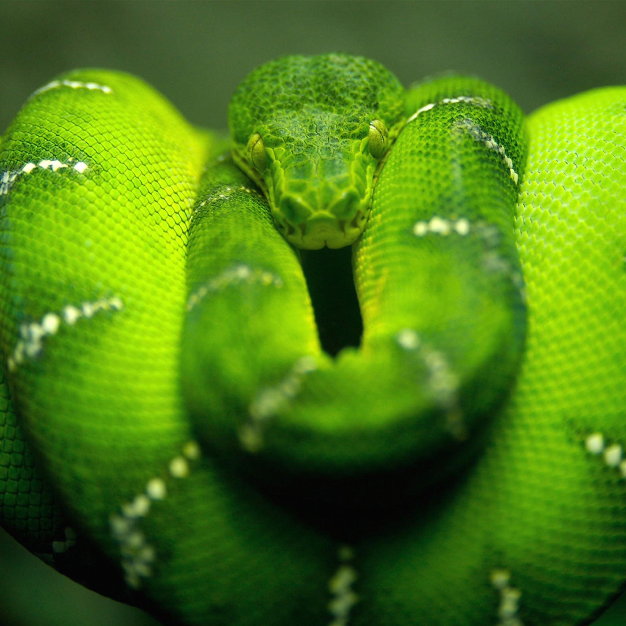 Green-Snake-3Wallpapers-iPad-Retina
