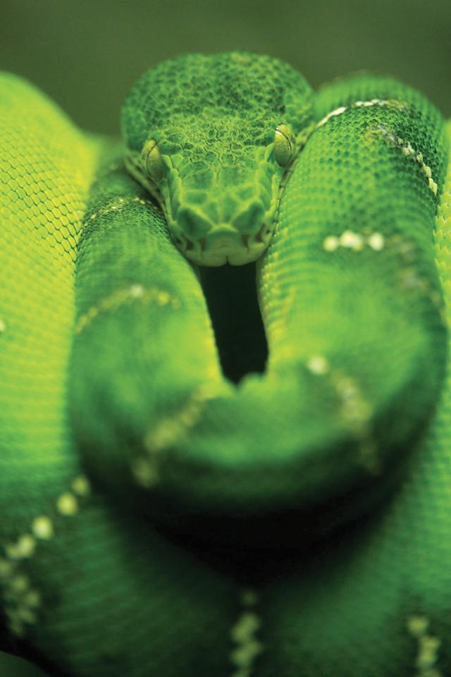 Green-Snake-3Wallpapers