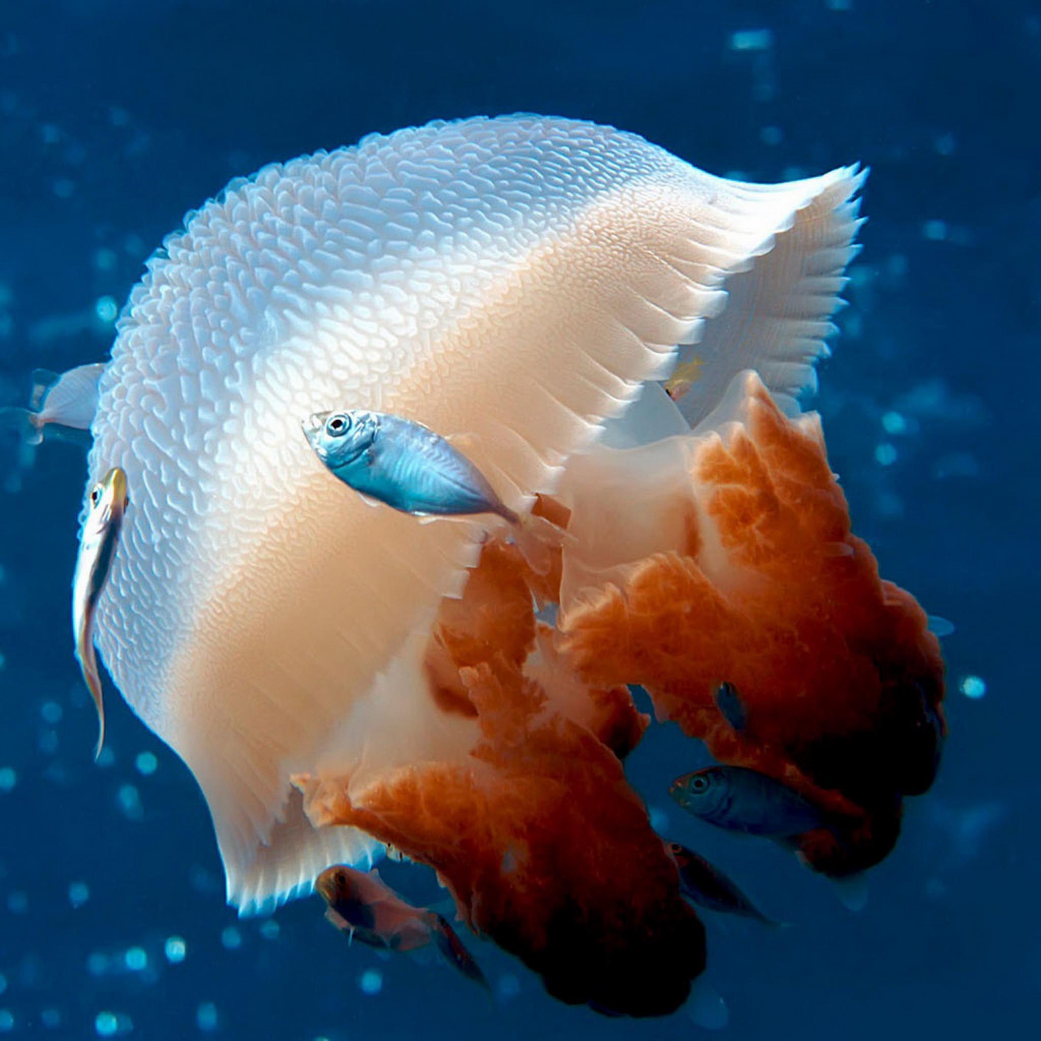 Jellyfish-3Wallpapers-iPad-Retina
