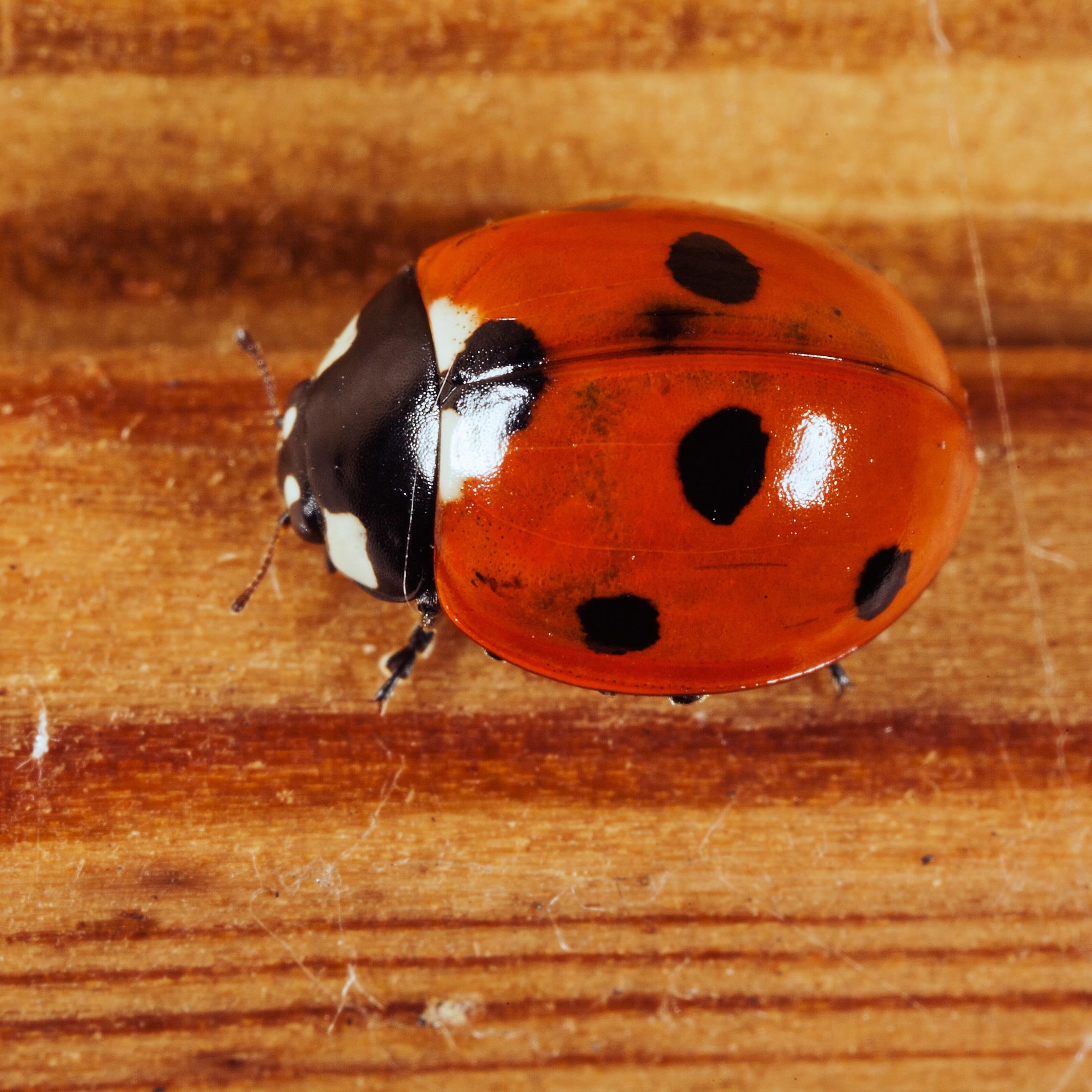 Ladybug 3Wallpapers iPad Retina Ladybug   iPad Retina