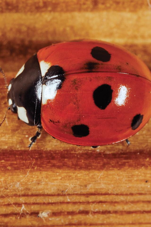 Ladybug-3Wallpapers