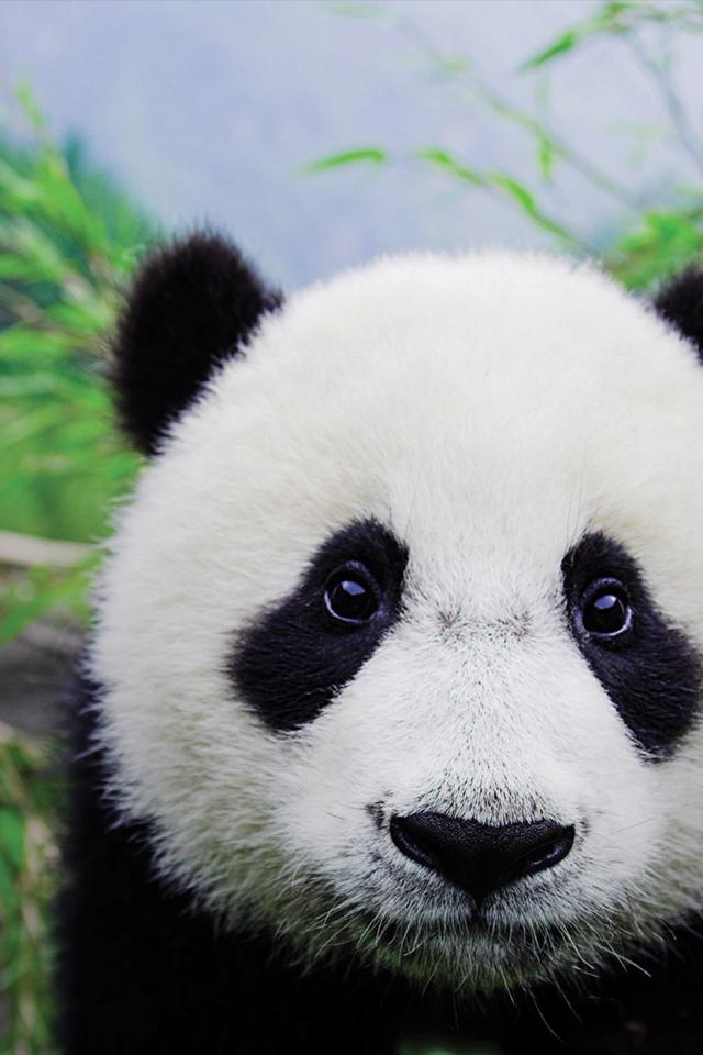 Panda 3Wallpapers Panda