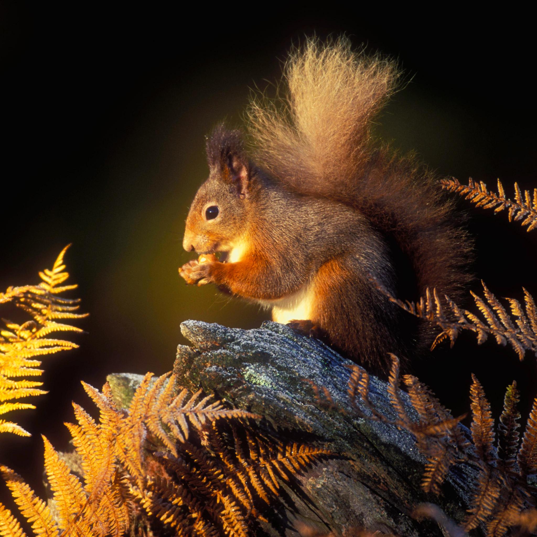 Squirrel 3Wallpapers iPad Retina Squirrel   iPad Retina