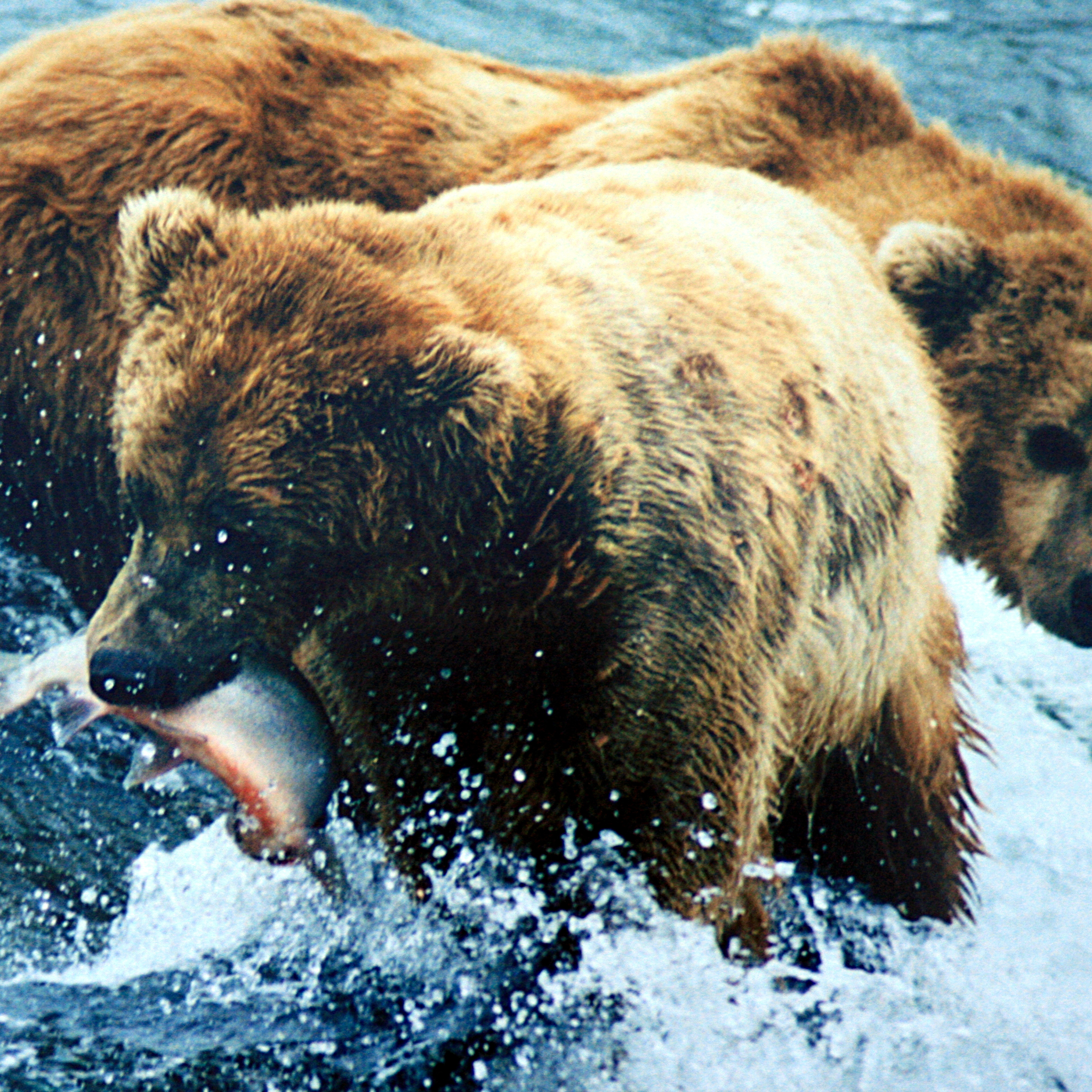 Brown-Bear-Grizzly-3Wallpapers-iPad-Retina