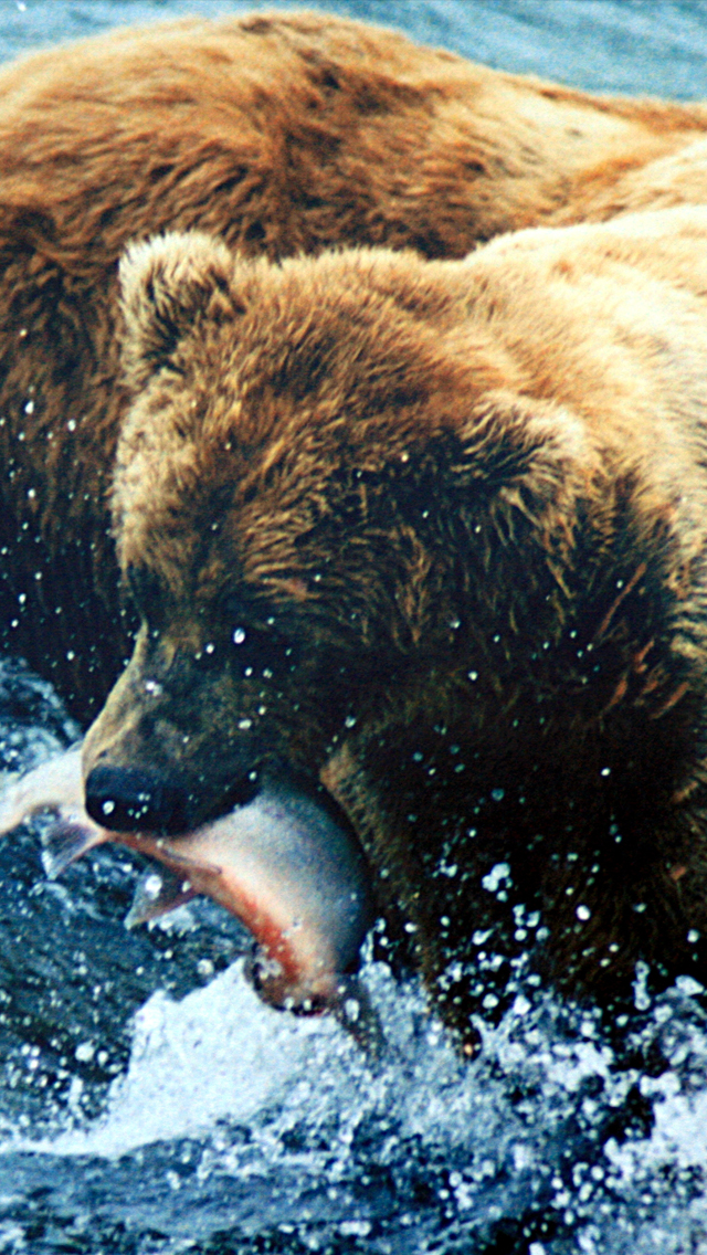 Brown-Bear-Grizzly-3Wallpapers-iPhone-5