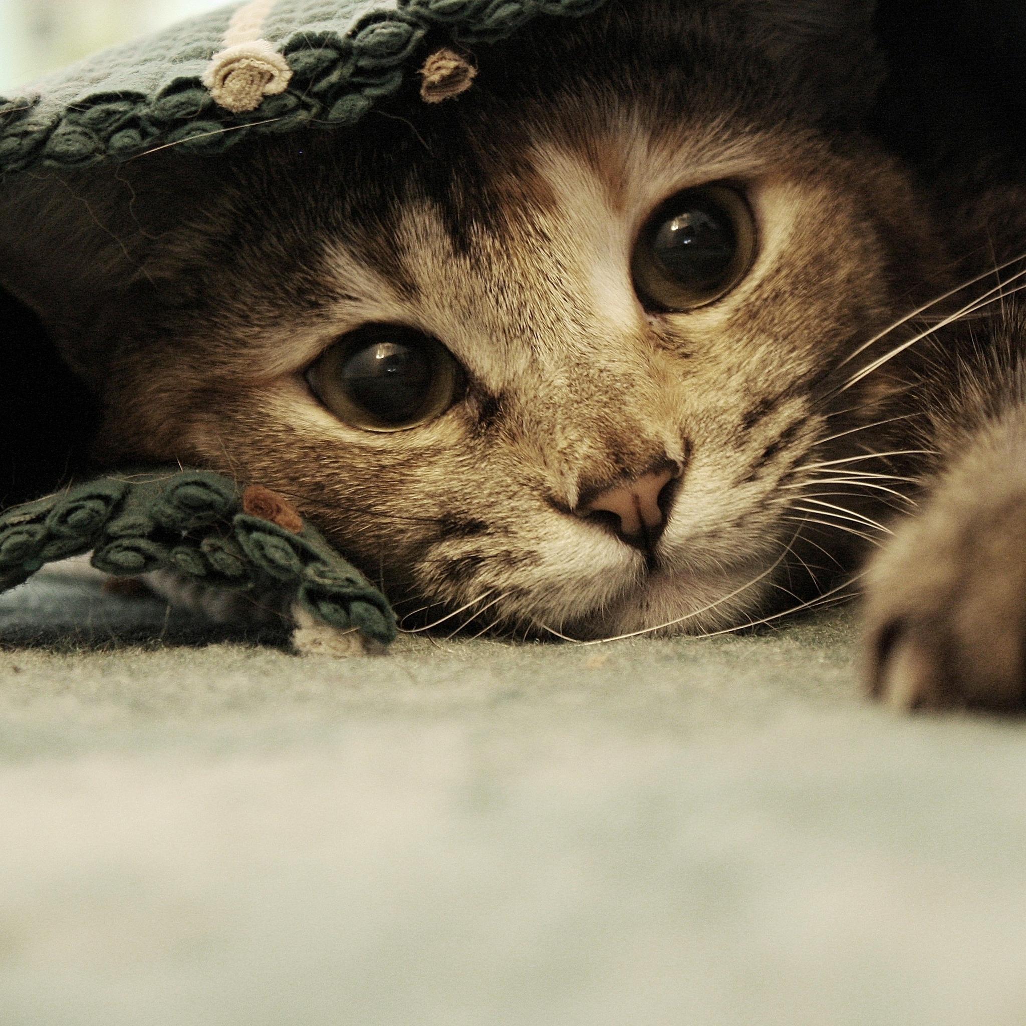Cat-in-Sheet-3Wallpapers-iPad-Retina