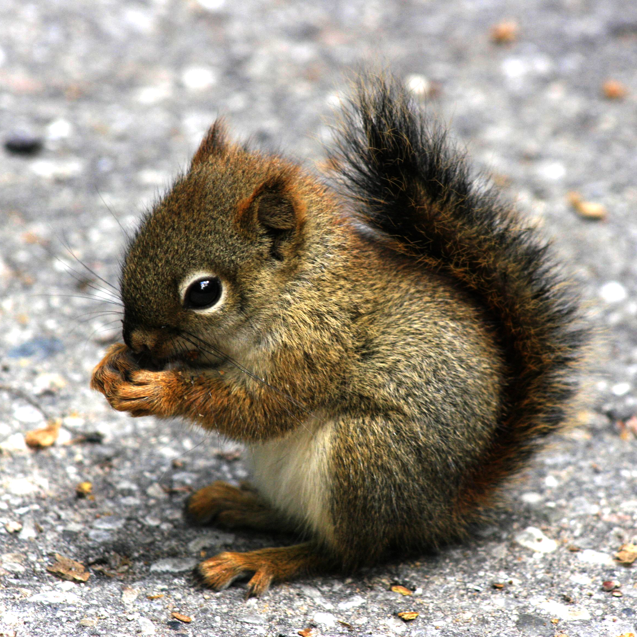 Mini-Squirrel-3Wallpapers-iPad-Retina