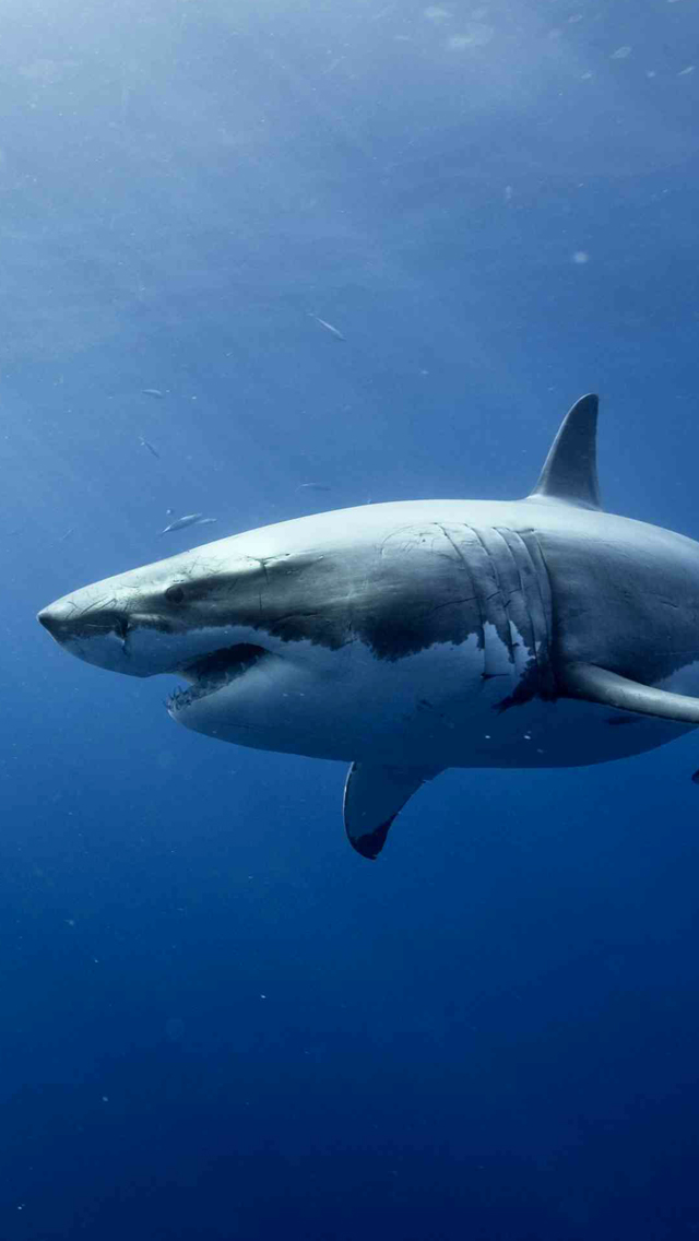Shark-in-Ocean-3Wallpapers-iPhone-5
