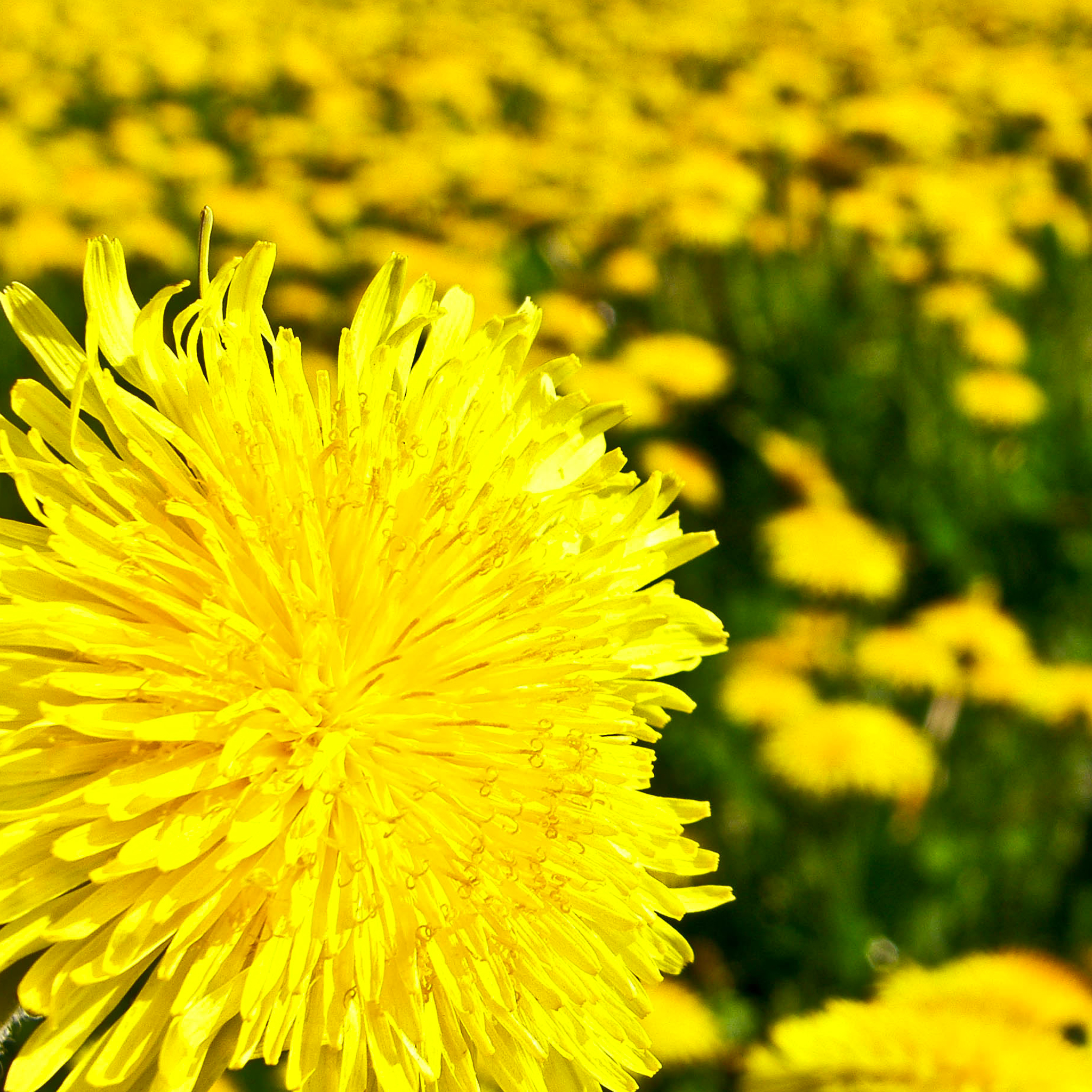 Yellow-Flowers-3Wallpapers-iPad-Retina