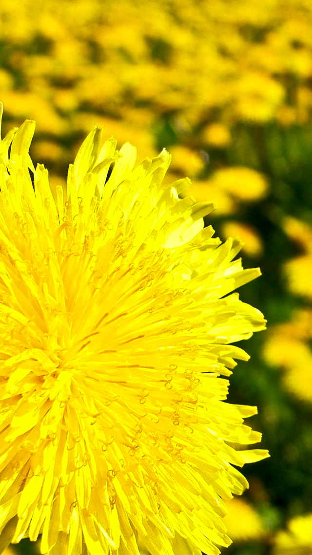 Yellow-Flowers-3Wallpapers-iPhone-5