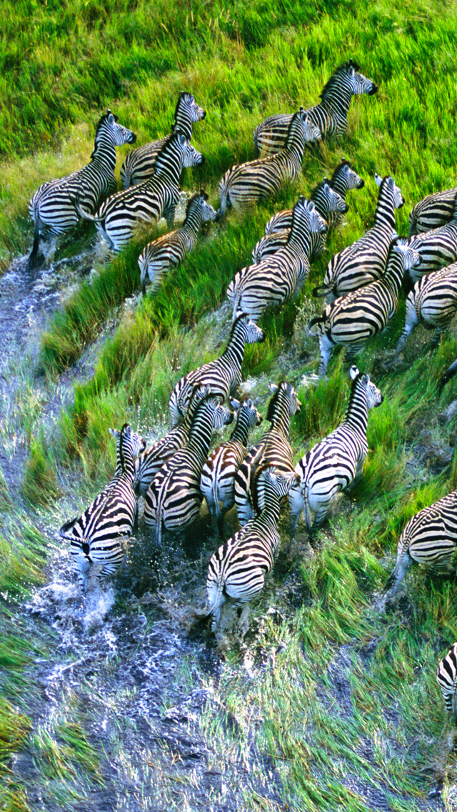Zebra-3Wallpapers-iPhone-5