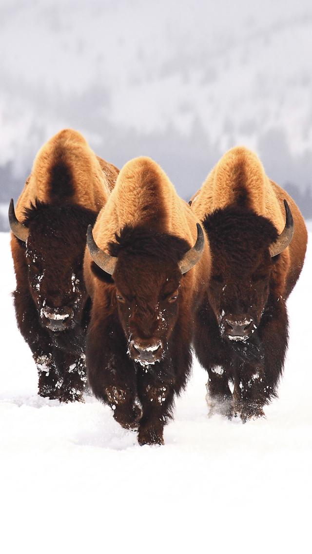 Buffalo 3Wallpapers iPhone 5 Buffalo