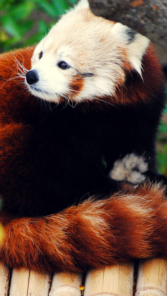 Firefox Red Panda 3Wallpapers iPhone 5 Les 3 Wallpapers iPhone du jour (03/11/12)
