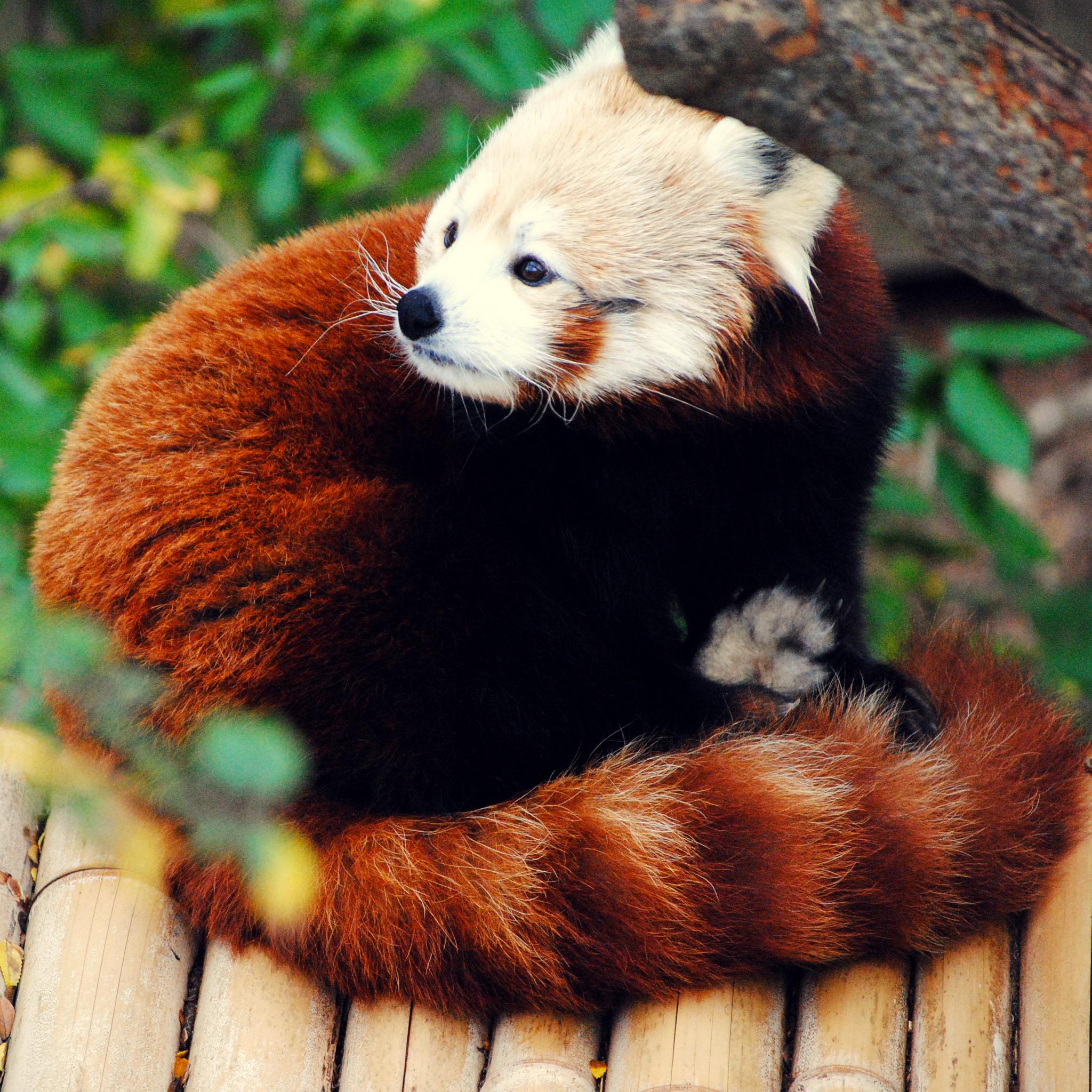 Firefox-Red-Panda-3Wallpapers-ipad-Retina