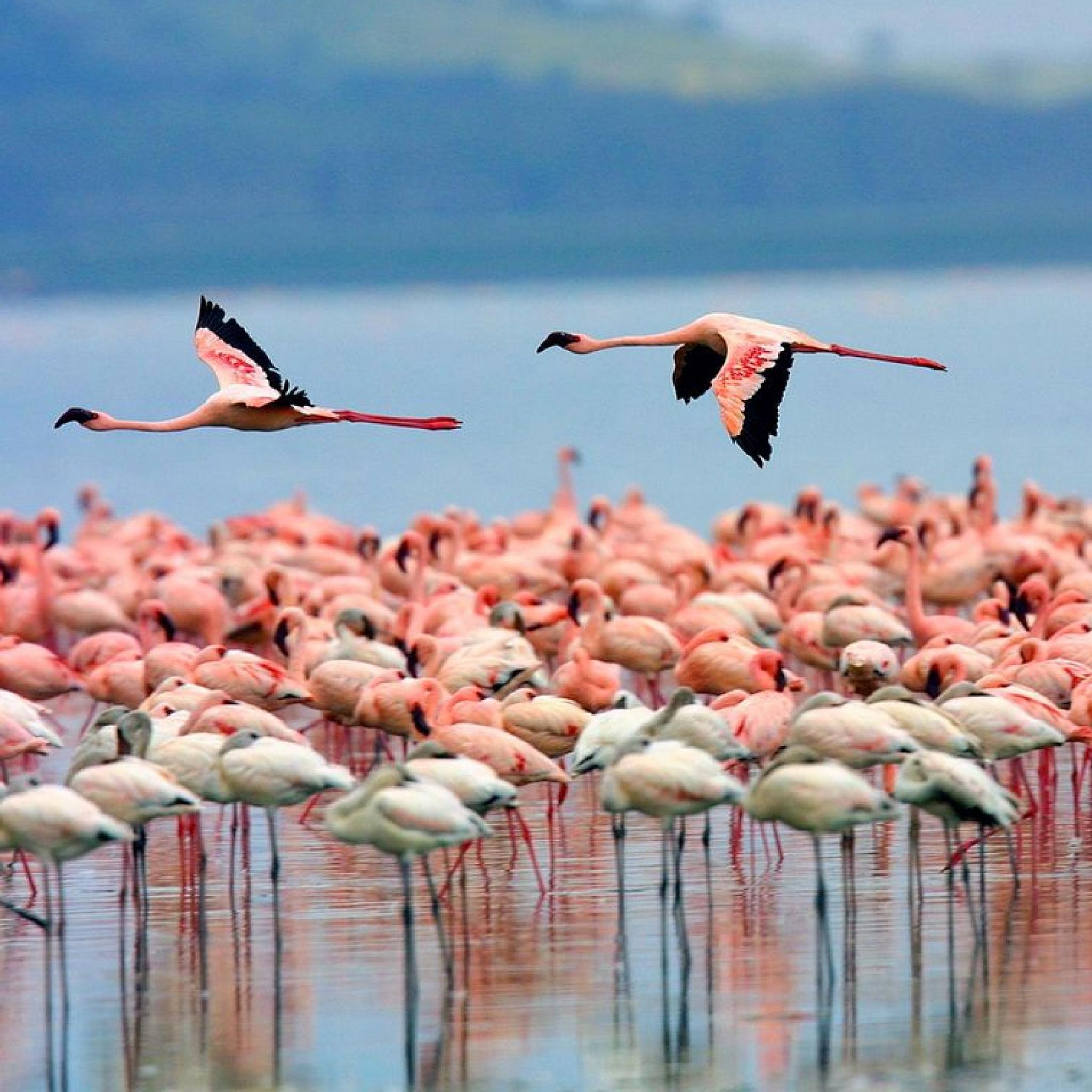 Pink-Flamingo-3wallpapers-iPad-Retina