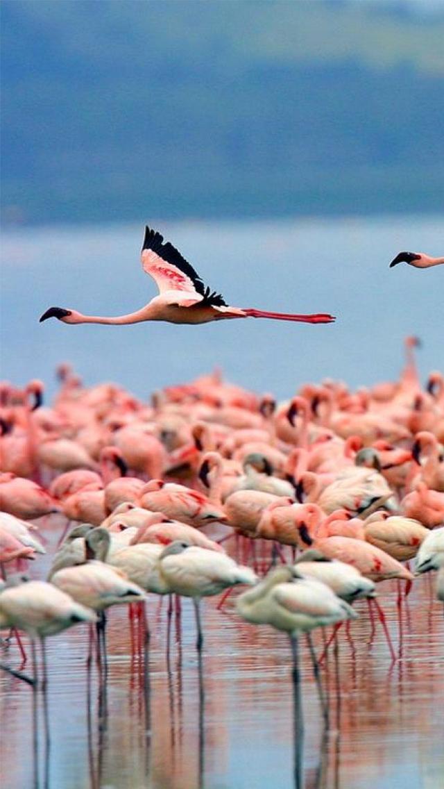 Pink Flamingo 3wallpapers iPhone 5 Pink Flamingo