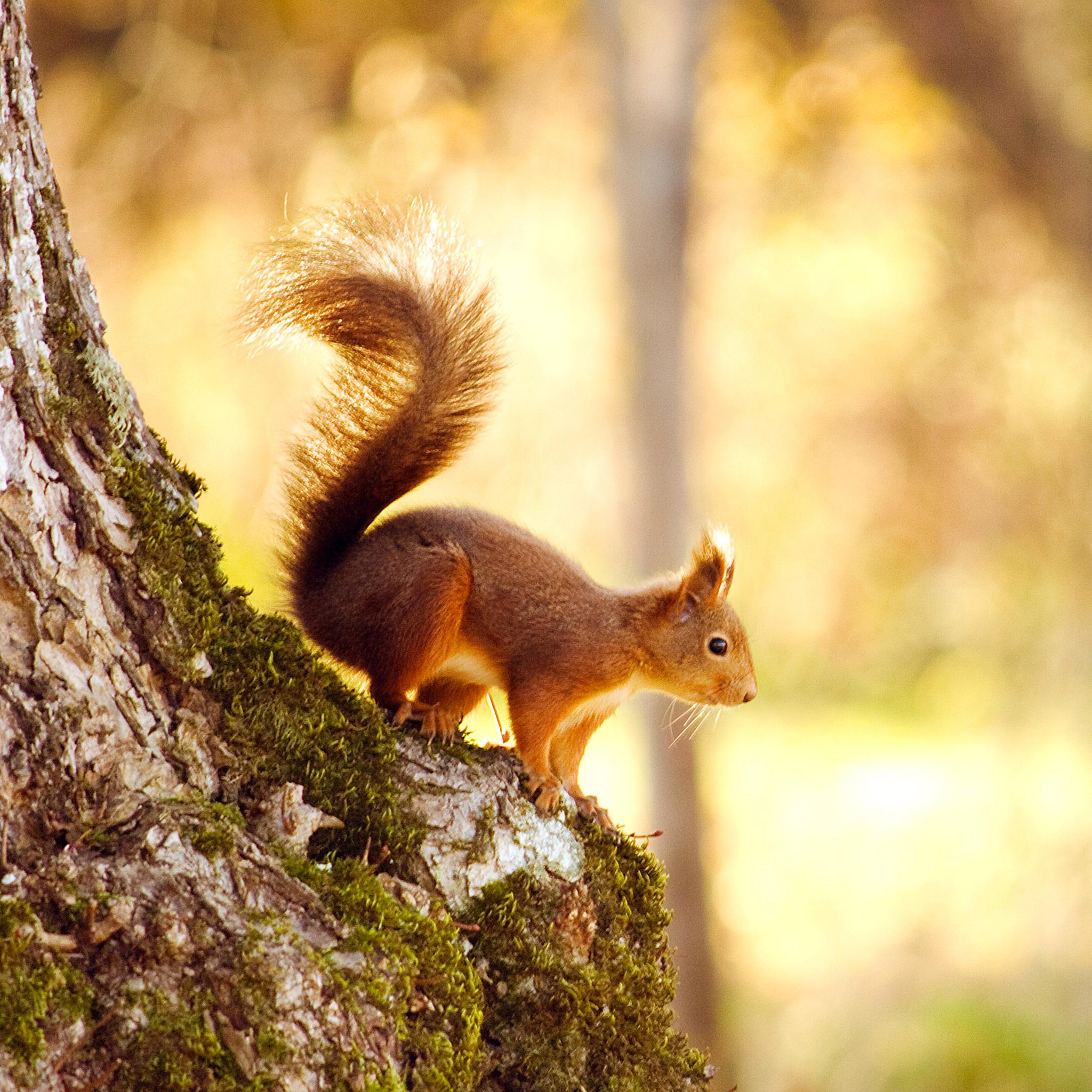 Squirrel-3Wallpapers-iPad-Retina