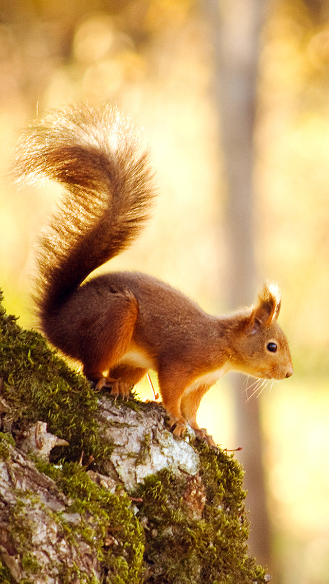 Squirrel-3Wallpapers-iPhone-5