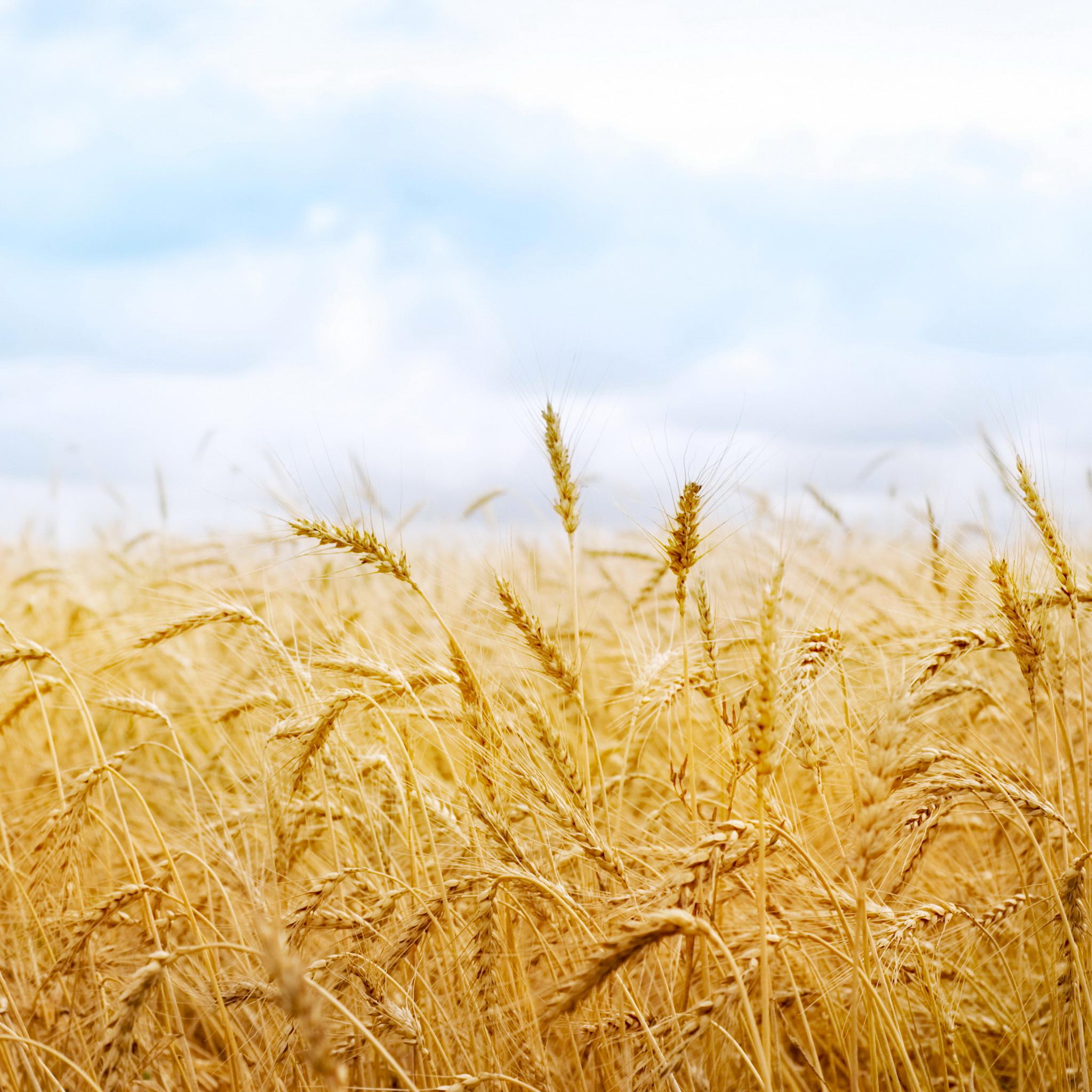 Wheat-in-Wind-3Wallpapers-iPad-Retina