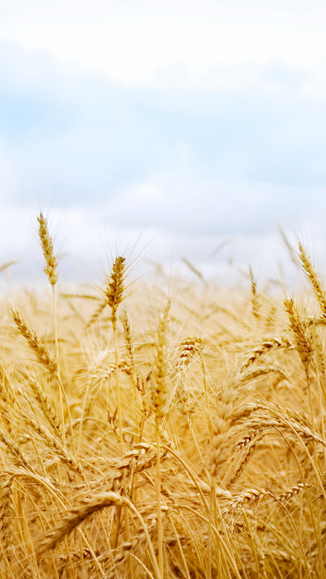 Wheat-in-Wind-3Wallpapers-iPhone-5