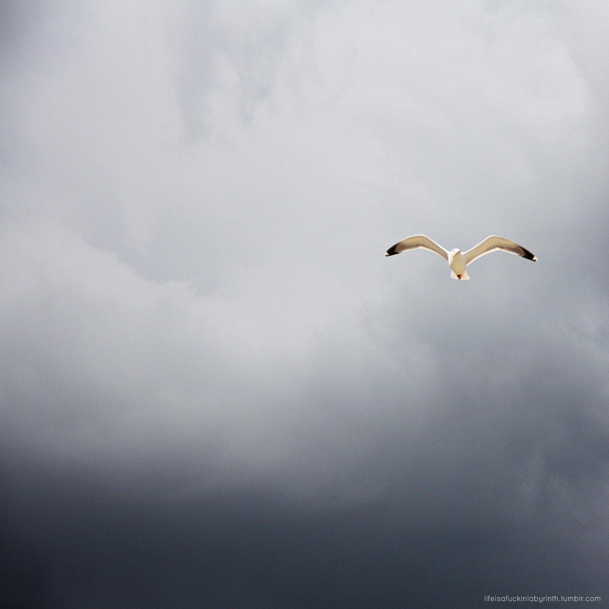 Sea Gull 3Wallpapers iPad Retina1 Sea Gull   iPad Retina