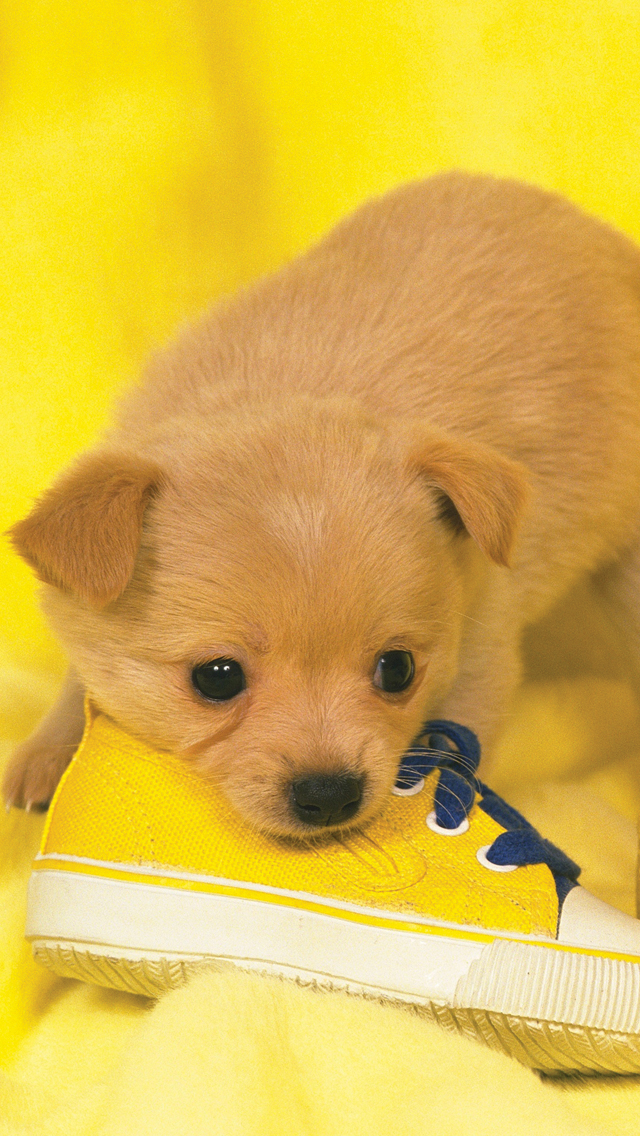 Yellow-Puppy-3Wallpapers-iPhone-5