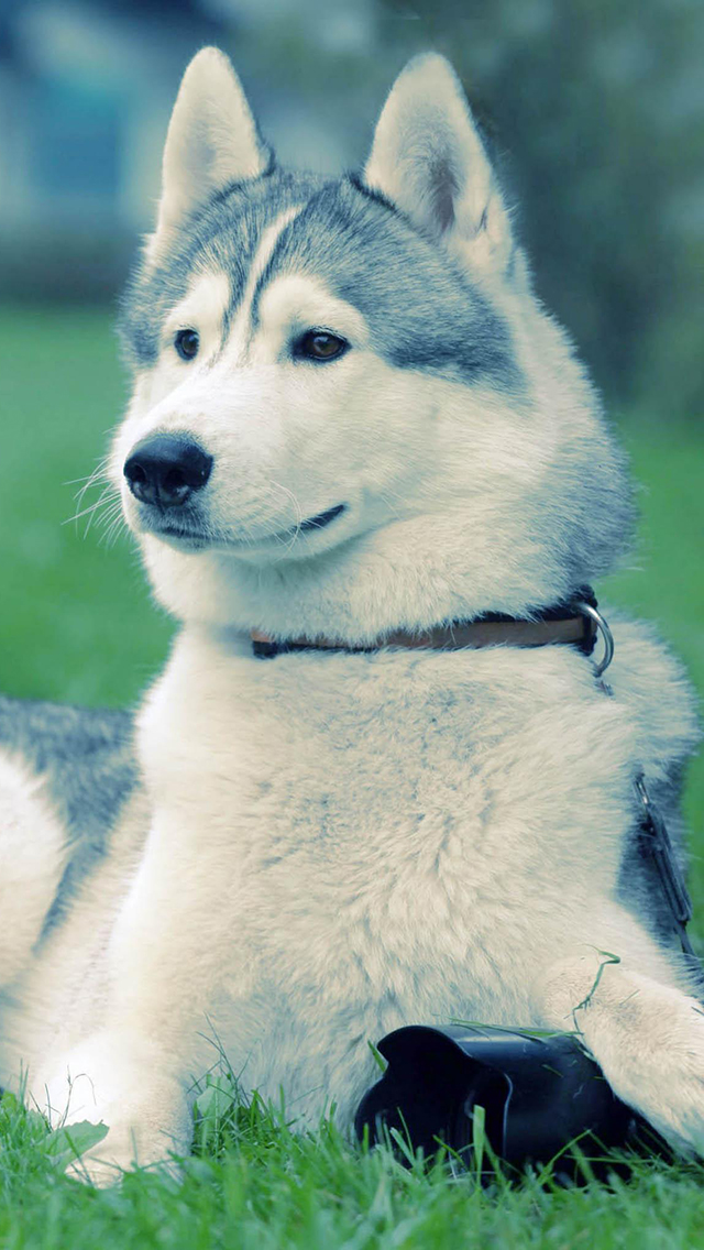 Husky-On-The-Grass-3Wallpapers-iPhone-5