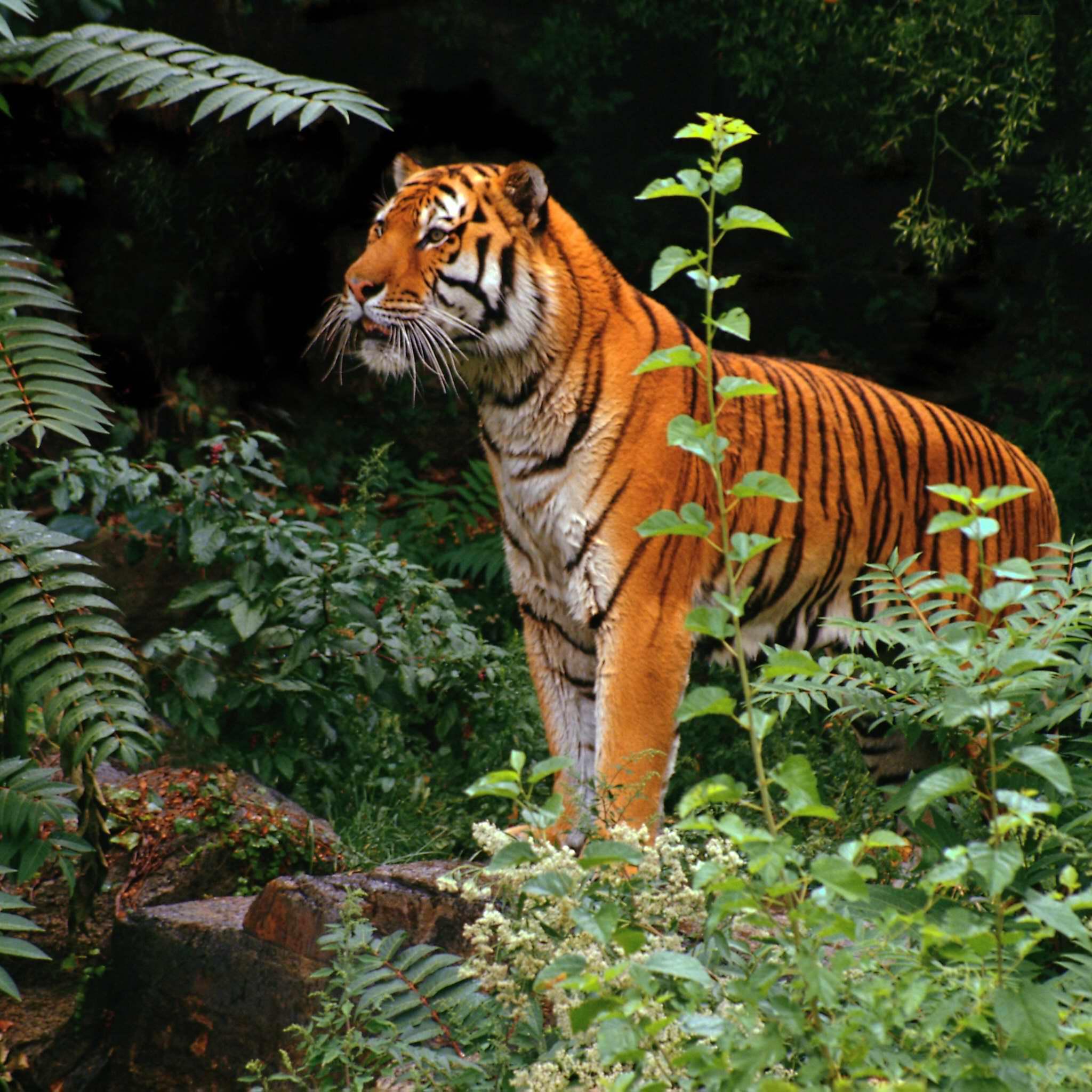 Tiger in jungle 3Wallpapers iPad Retina Tiger in jungle   iPad Retina