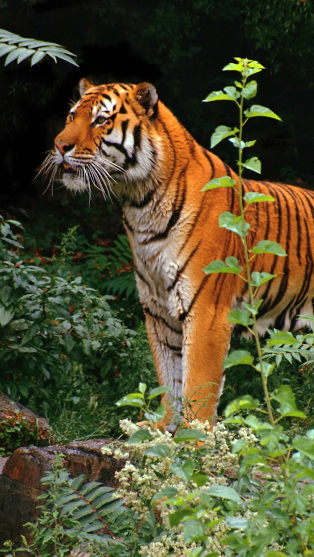 Tiger in jungle 3Wallpapers iPhone 5 Tiger in jungle