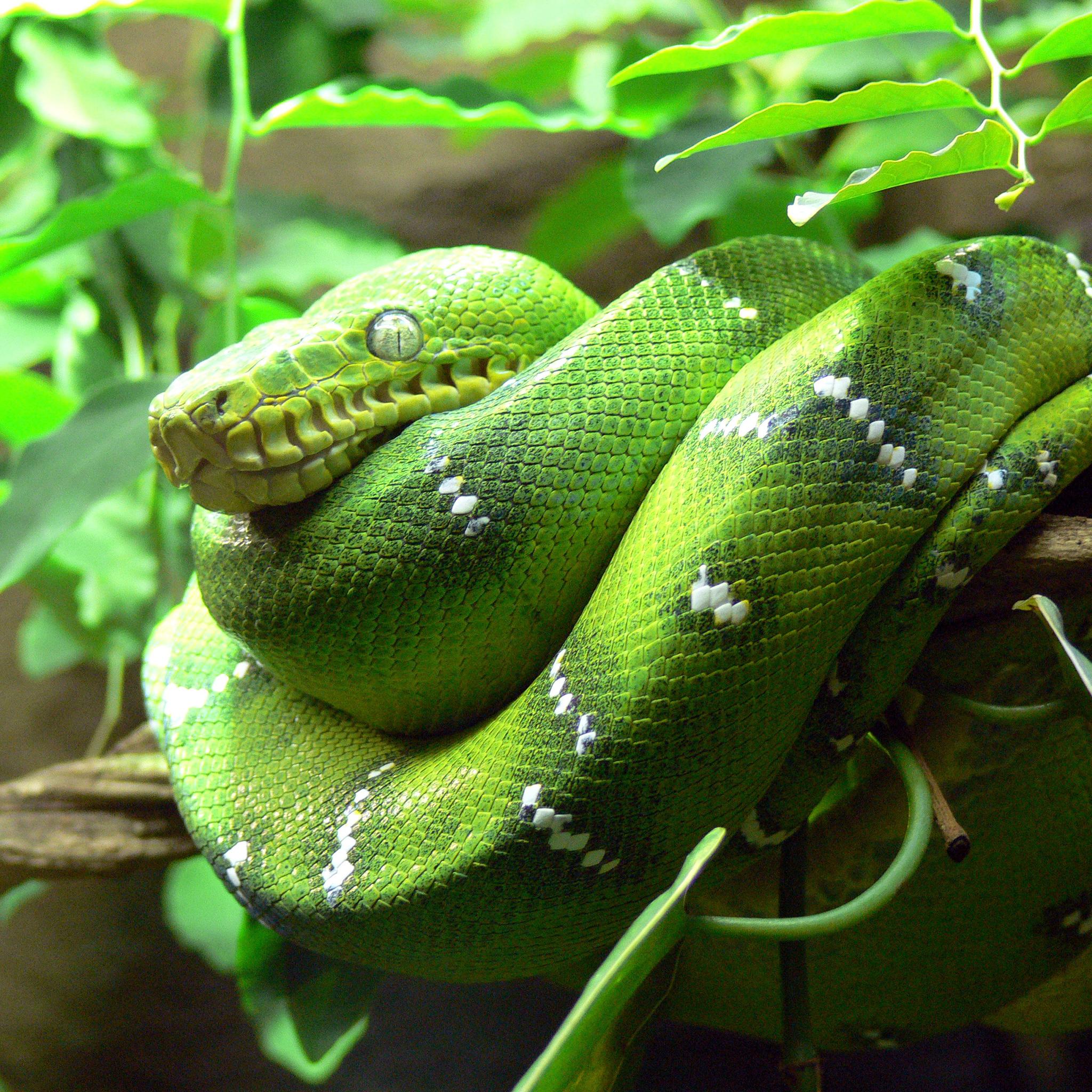 Green Tree Snake3Wallpapers iPad Retina Green Tree Snake   iPad Retina