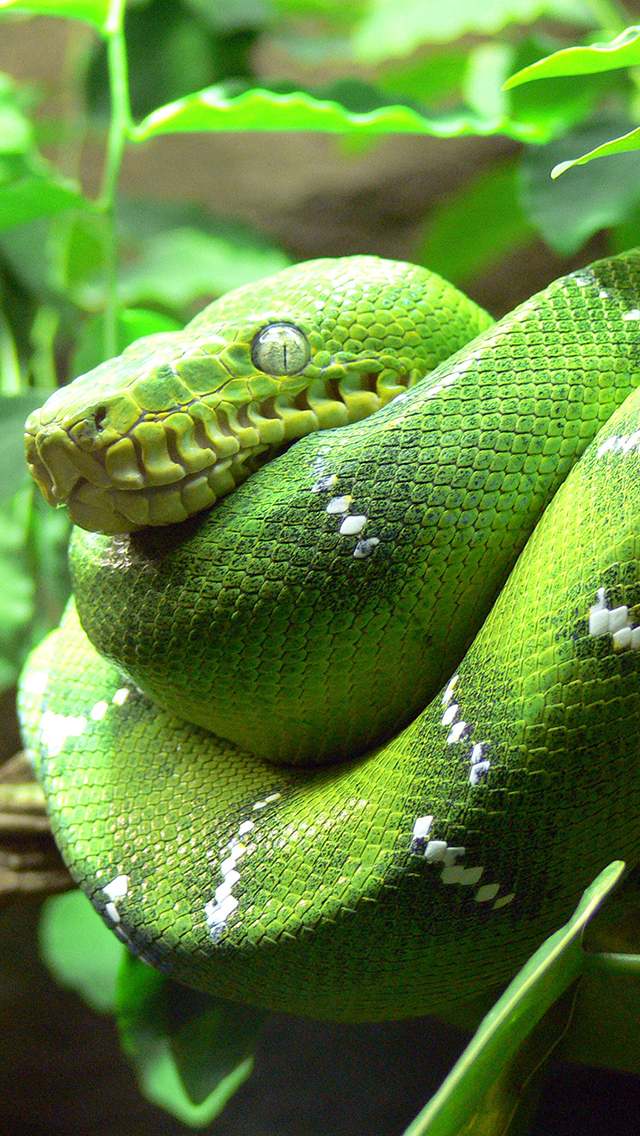Green Tree Snake3Wallpapers IPhone 5 Snake